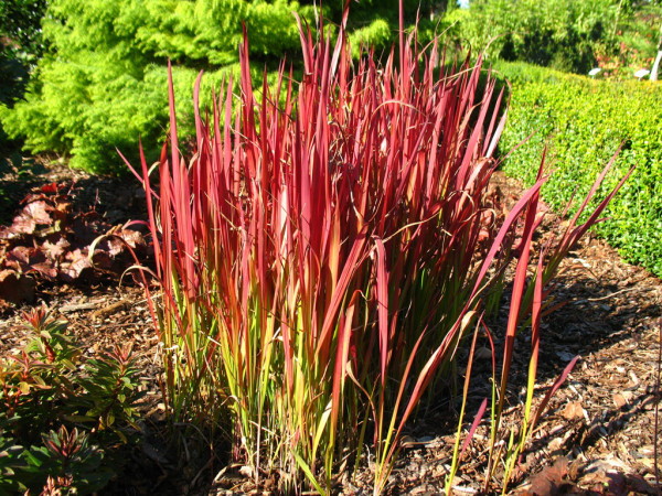 Flammengras Red Baron (Imperata cylindrica)