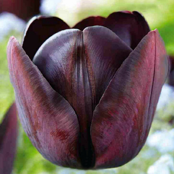 Tulpe Cottage Queen Of Night