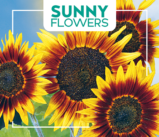 Buzzy® Sonnenblume Ring of Fire (Helianthus annuus L.)