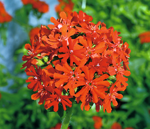 Buzzy® Brennende Liebe (Lychnis chalcedonica)