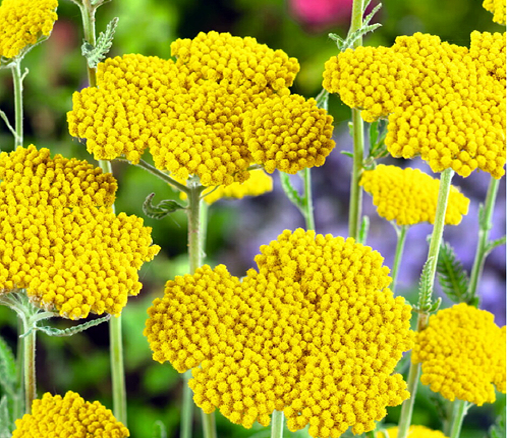 Hortitops® Schafgarbe Cloth Of Gold (Achillea filipendula)