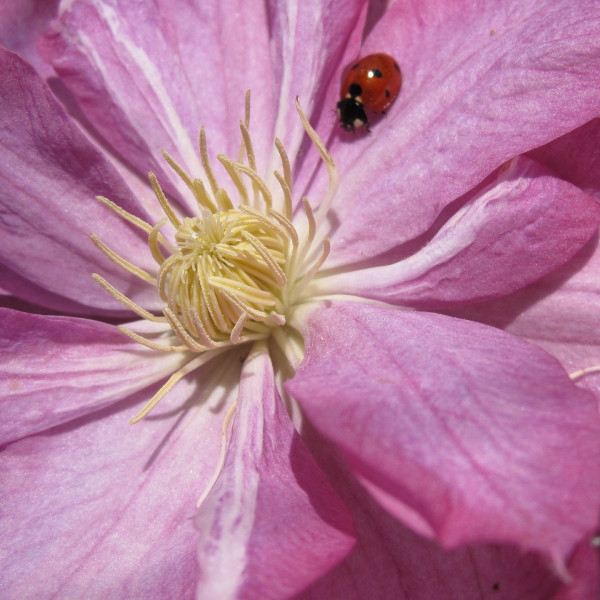 Waldrebe Clematis Ruby, 2 Liter Container