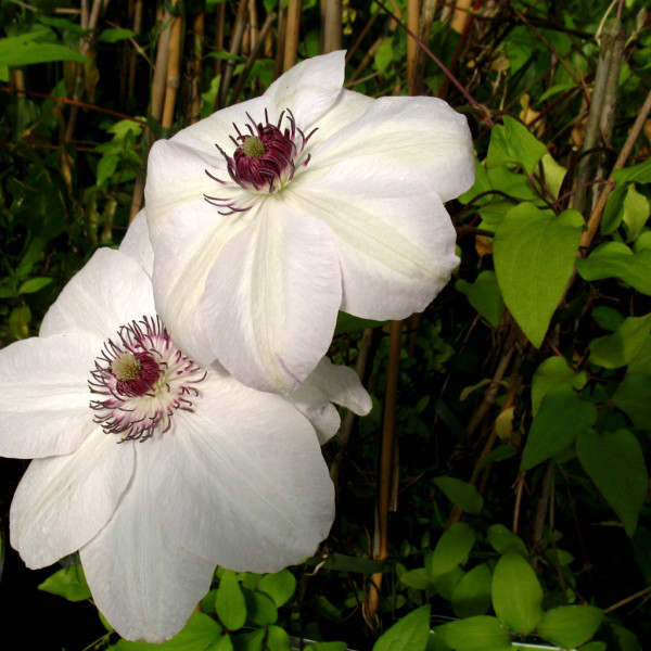 Waldrebe Clematis Madame le Coultre, 2 Liter Container