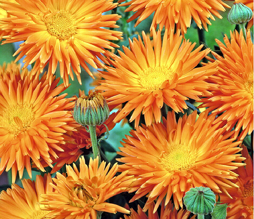 Hortitops® Ringelblume Radio Orange (Calendula officinalis)