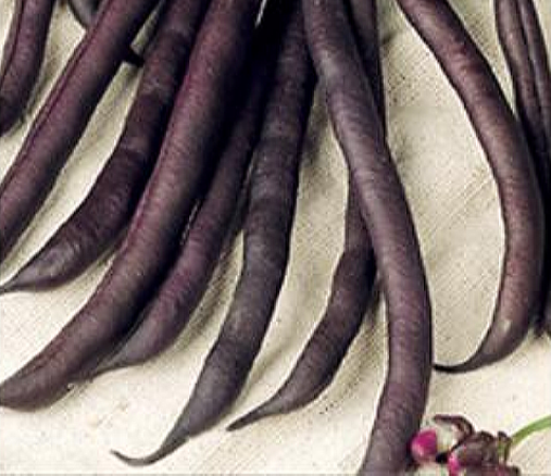 Buschbohnen Purple Queen, 100g (Phaseolus Vulgaris L.)