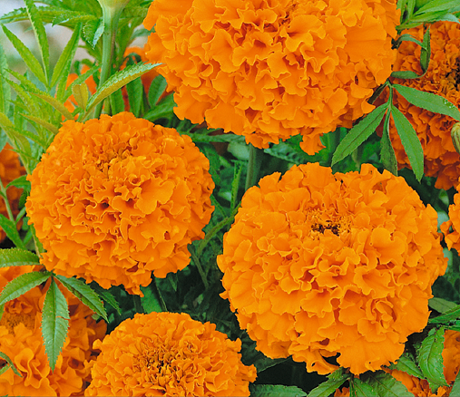 Buzzy® Studentenblume Hawaii, orange (Tagetes erecta)