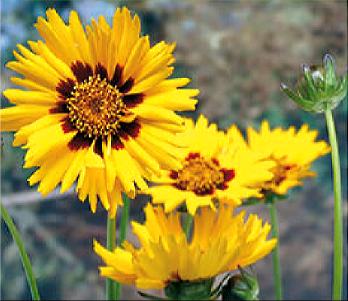Buzzy® Mädchenauge Early Sunrise (Coreopsis grandiflora)