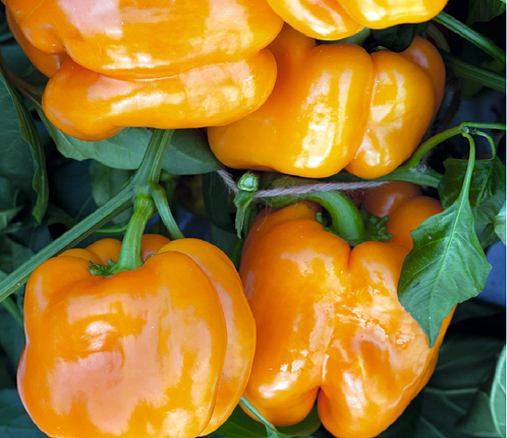 Hortitops® Paprika Orange Horizon (Capsicum annuum)