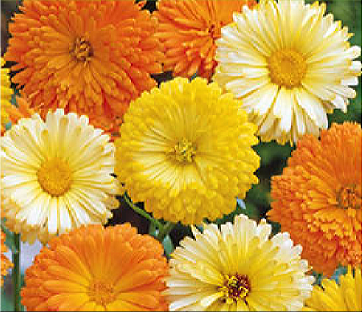 Buzzy® Ringelblume Pacific Beauty (Calendula officinalis)