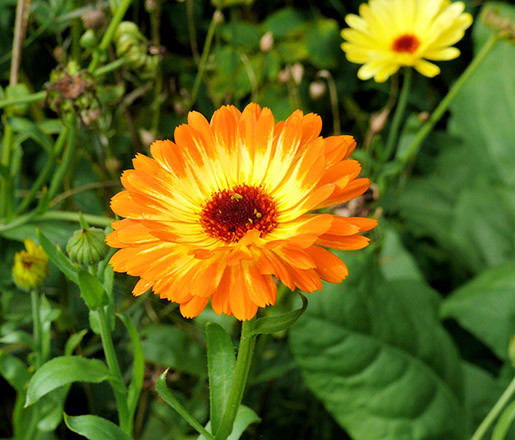Buzzy® Ringelblume Touch of Red, Mischung (Calendula officinalis)