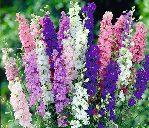 Buzzy® Rittersporn Imperial, Mischung (Delphinium consolida)
