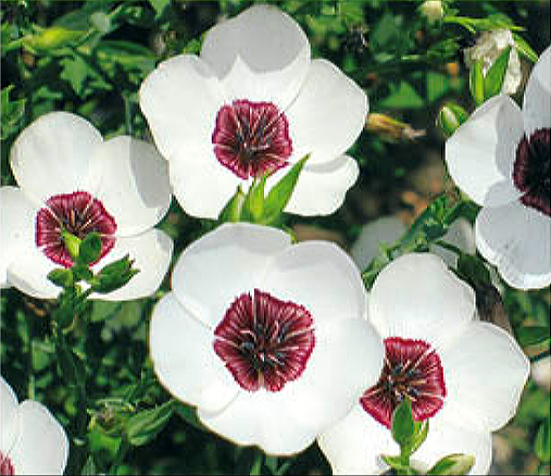 Buzzy® Lein Bright Eyes (Linum grandiflorum)