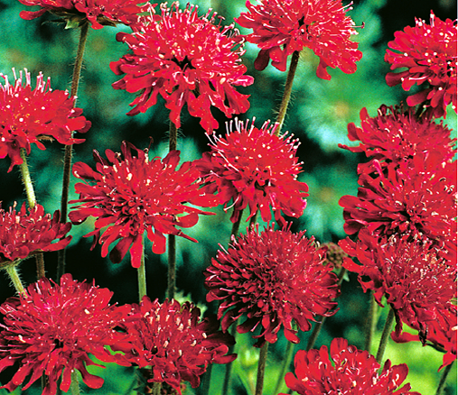 Hortitops® Knautia Red Knight (Knautia macedonica)