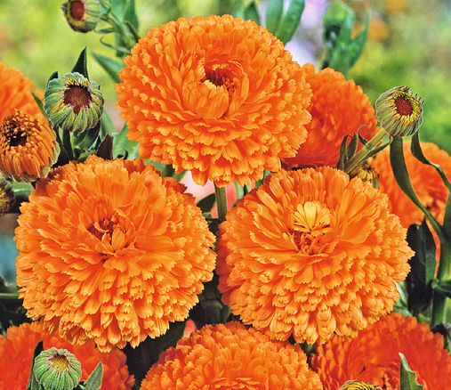 Buzzy® Ringelblume Ball's Orange (Calendula officinalis)