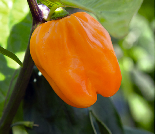 Hortitops® Pfeffer Habanero, orange (Capsicum chinense)