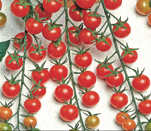 Buzzy® Kirschtomate Supersweet 100 F1 (Lycopersicon esculentum)